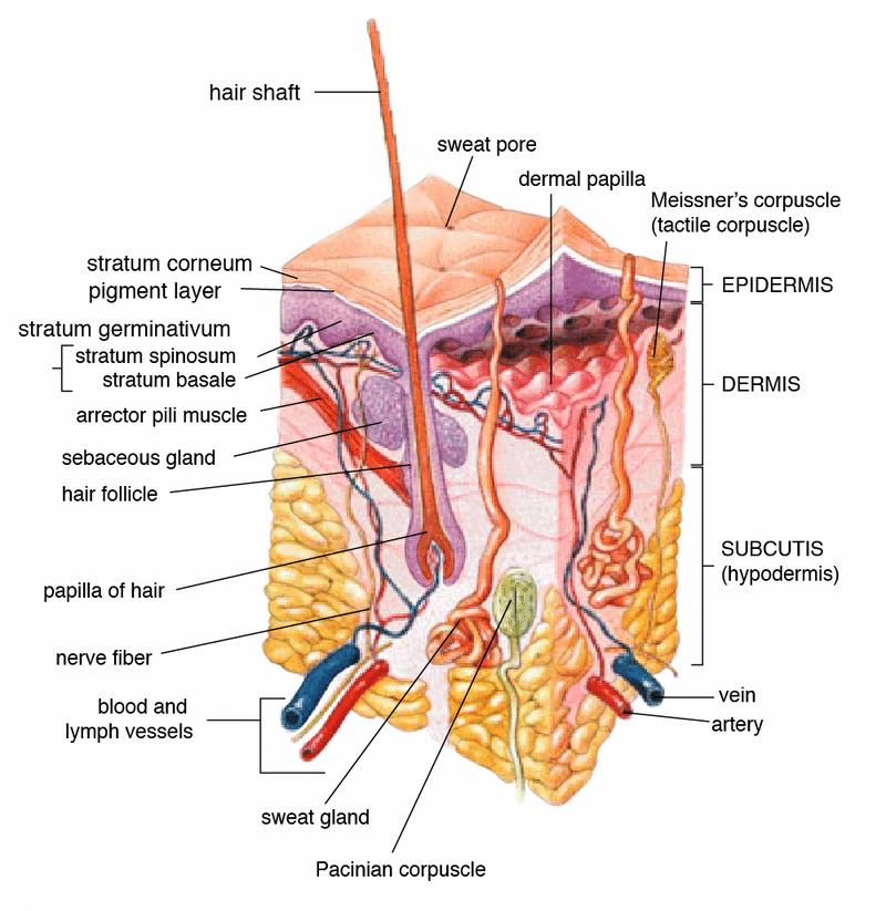 Anatomie van de menselijke huid