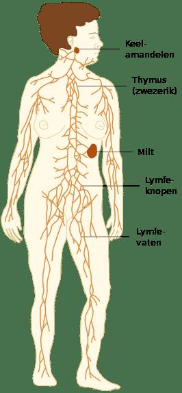 Lymfevatenstelsel