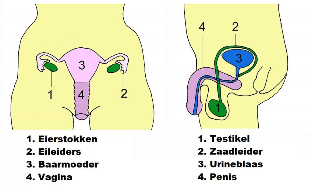 Menselijk voortplantingssysteem