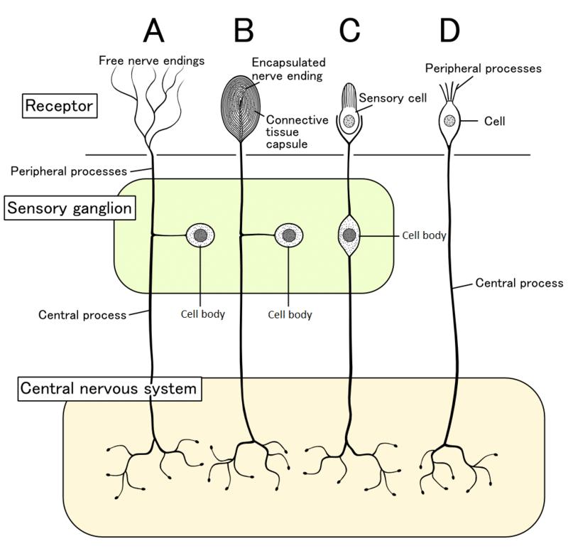 Structuur van het menselijk zintuigelijke zenuwstelsel