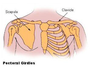 Sleutelbeen Clavicula