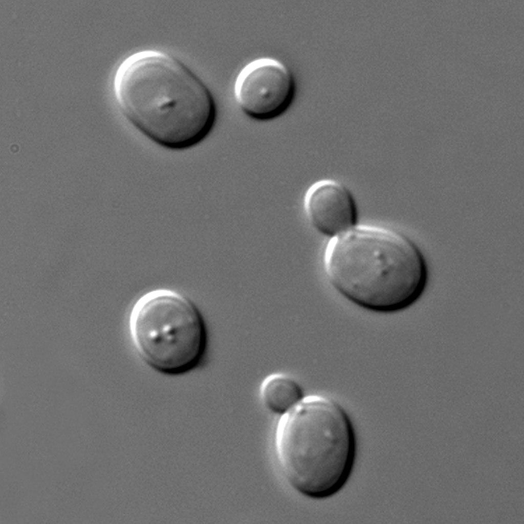 Biergist (Saccharomyces cerevisiae)