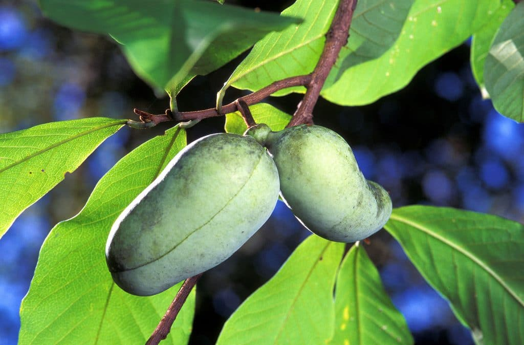 Fruit van pawpaw