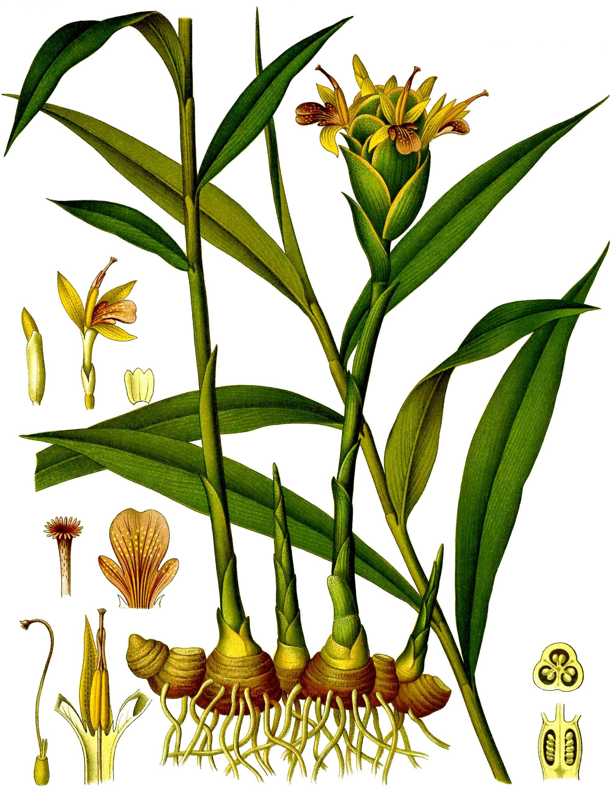 Gemberplant (Zingiber officinale)