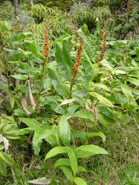 Gemberplant