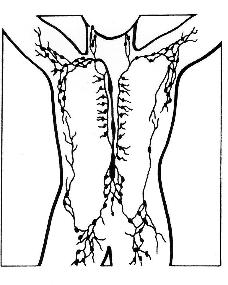 Illustratie van de lymfeklieren