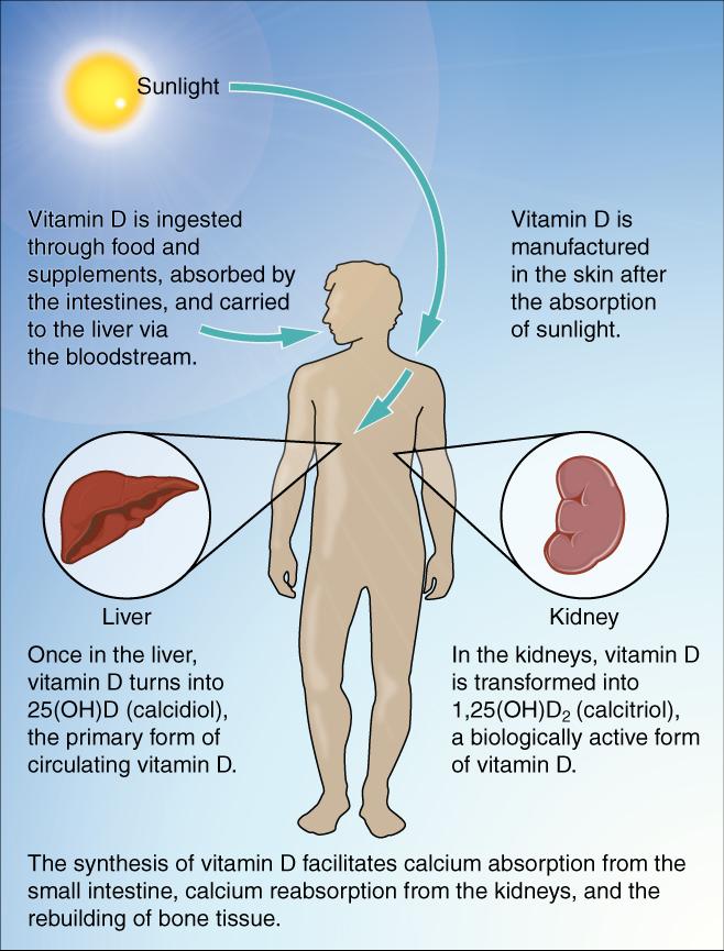 De synthese van vtamine D